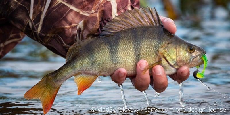 Barsch Fisch