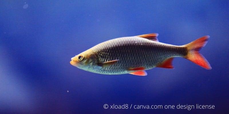 Rotfeder Fisch