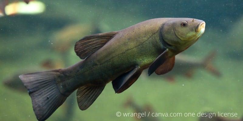 Schleie Fisch