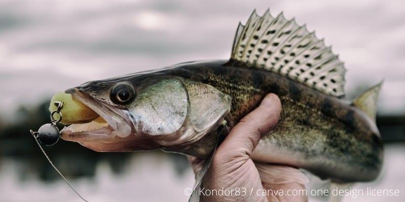 Zander Fisch Steckbrief