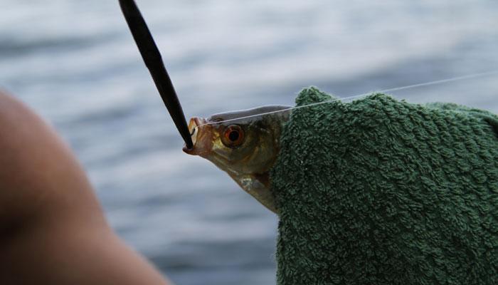 Rotfeder angeln: Made und Mistwurm bringen den Erfolg