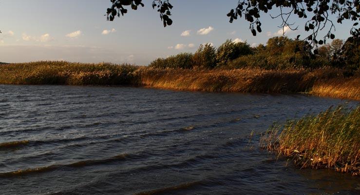 Karpfen fressen auch im Uferbereich