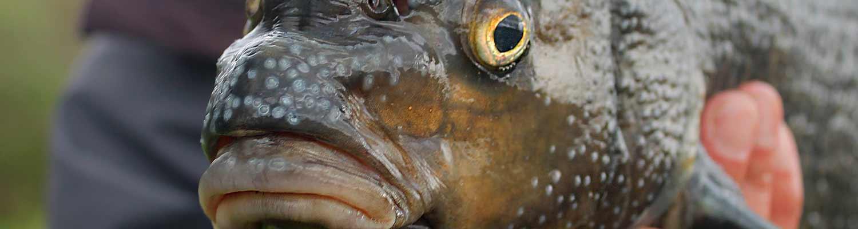 Fischarten beim Feederangeln